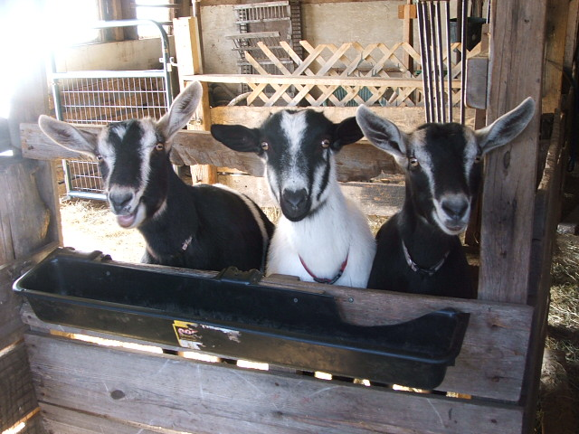 Aunt Priscilla, Aunt Helen, Aunt Esther, our first does still giving us milk and cheese.  Named for Noreen's family.  Esther is the model for our logo.  they are all Alpine (uppity ears).