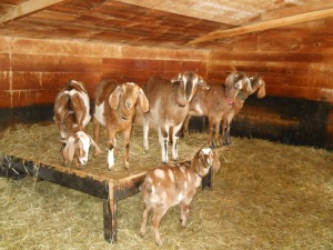 These are the nubian-X yearlings at Holland Farm.  Milford Goat Dairy is actually 2 farms, Holland Farm where the majority of goats live, and Butternut Farm where some goats live but where the processing kitchen is.