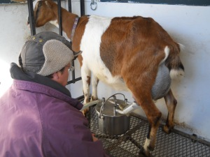 Cold start to the morning.  Marcy is milking with a machine which also keeps the milk clean.  No hoof in the milk!